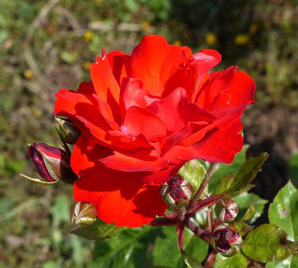 Rosa 'Domstadt Fulda ®'