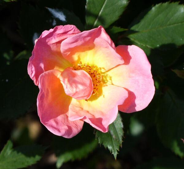 Rosa 'Rainbow Knock Out ®'