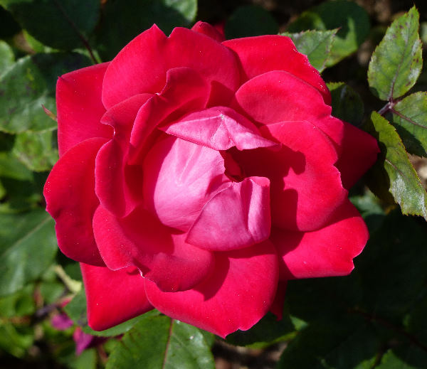 Rosa 'Double Knock Out ™'
