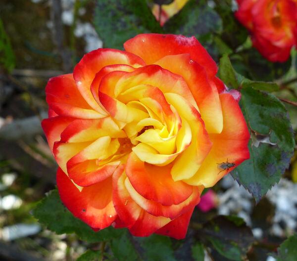 Rosa 'Samba ®'