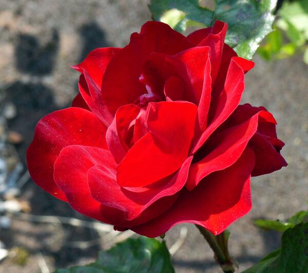 Rosa 'Minuetto'