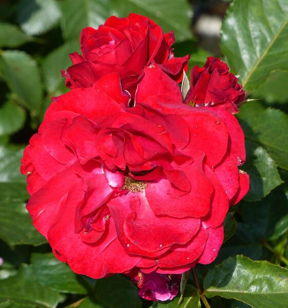 Rosa 'Nina Weibull ®'