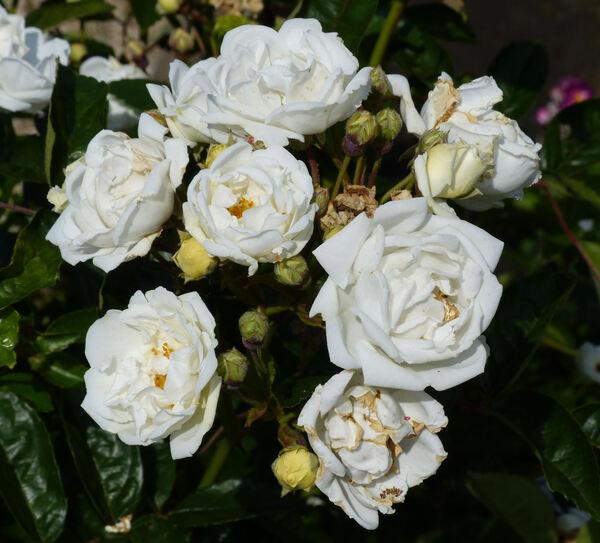 Rosa 'Maman Turbat'