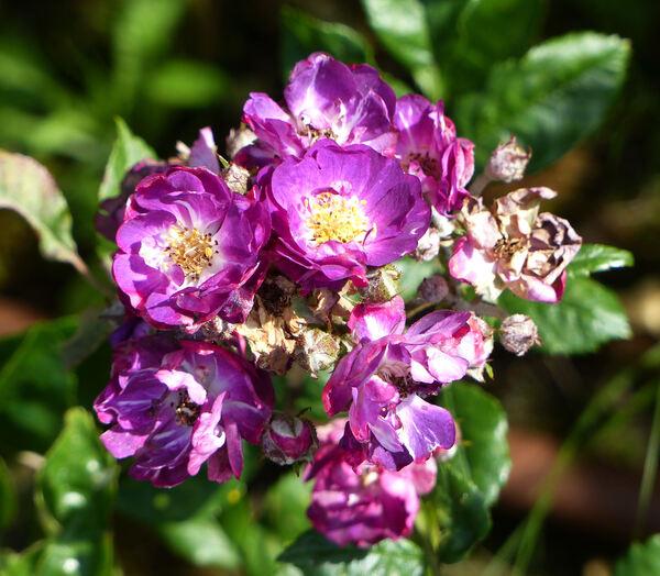 Rosa 'Violetta'