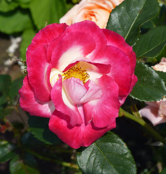 Rosa 'Suni ®'