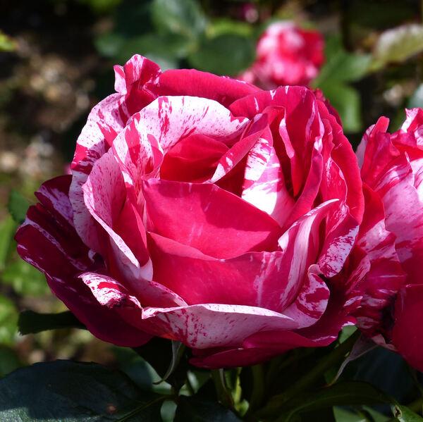 Rosa 'Henri Matisse ®'