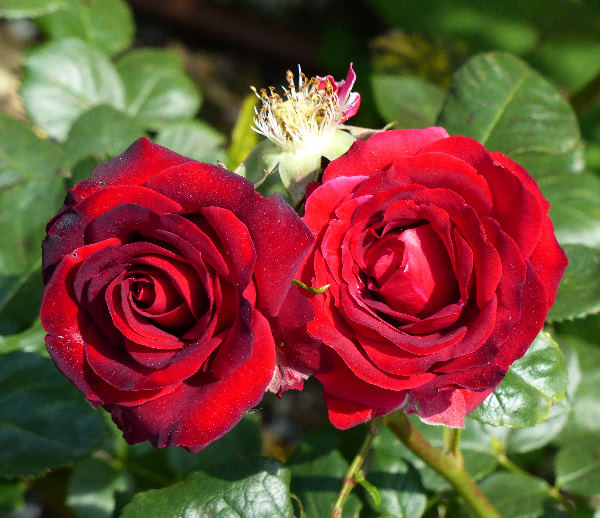 Rosa 'Niccolo Paganini'