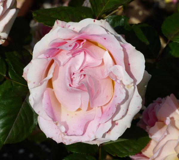 Rosa 'César ®'
