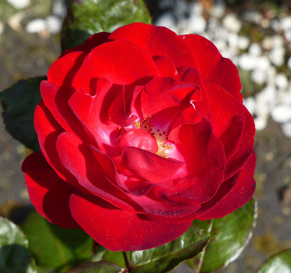 Rosa 'Mariandel ®'