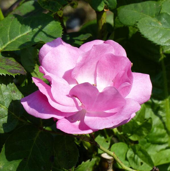 Rosa 'Abundance ®'