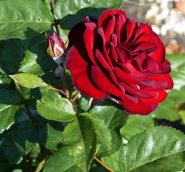 Rosa 'Lavaglut ®'