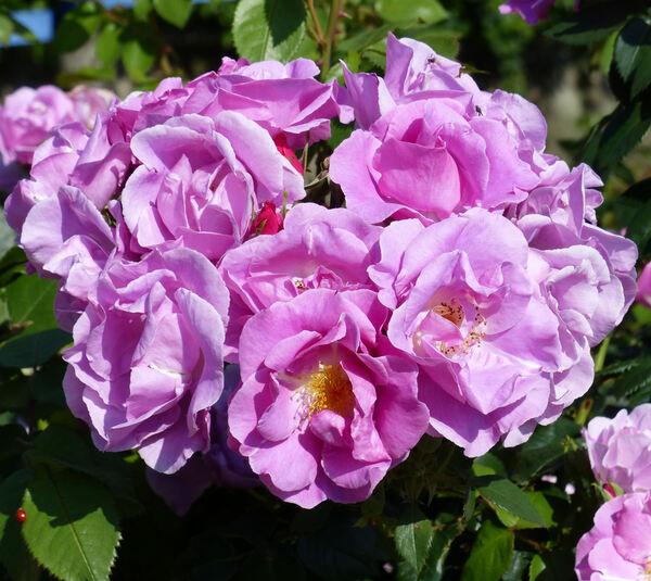 Rosa 'Lucky'