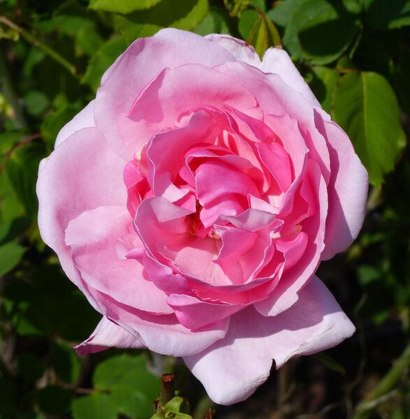Rosa 'Mrs. Wakefield Christie-Miller'