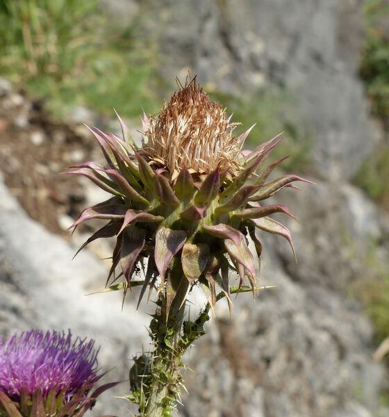 Carduus nutans L. subsp. nutans