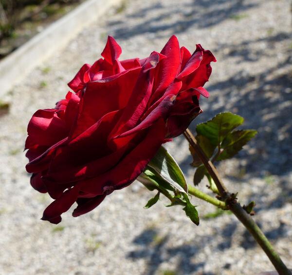 Rosa 'Courage'