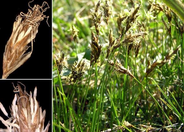 Carex praecox Schreb.