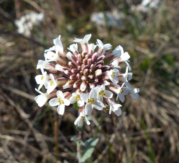 Noccaea praecox (Wulfen) F.K.Mey.