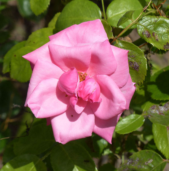 Rosa 'Romance'