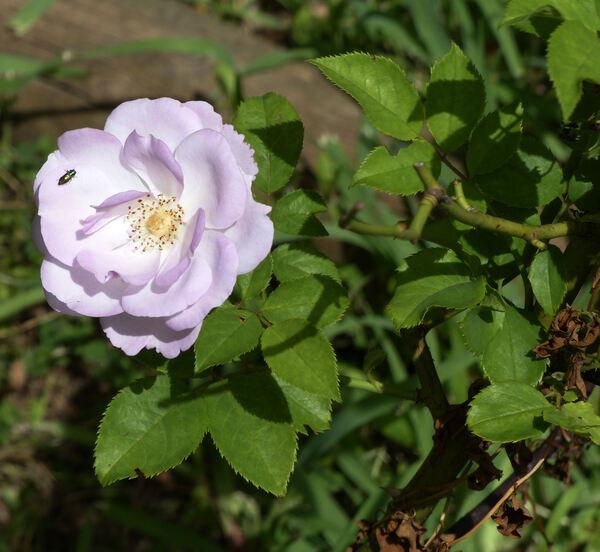 Rosa 'Déclic'