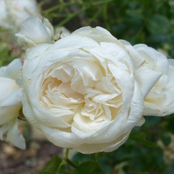 Rosa 'Summer Memories'