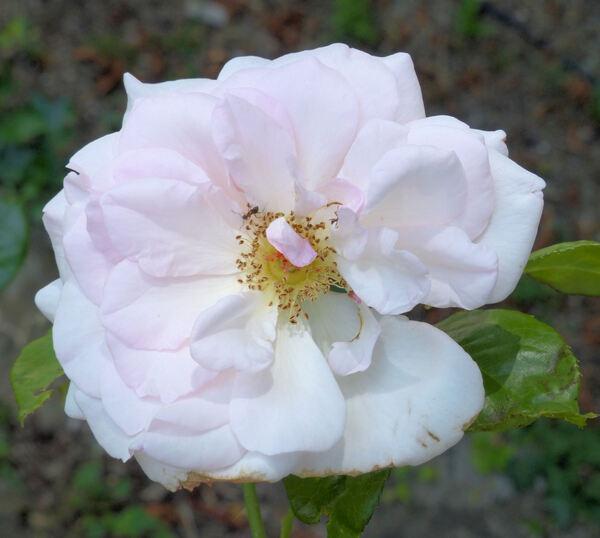 Rosa 'Alexandra - Princesse de Luxembourg ®'