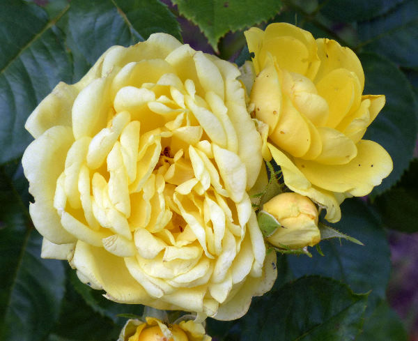 Rosa 'Anny Duperey ®'