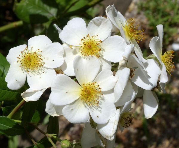 Rosa 'Rosalita'