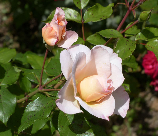 Rosa 'Fedra ®'