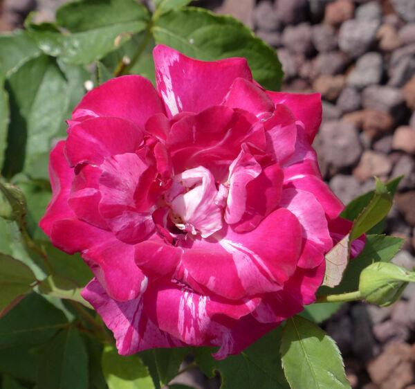 Rosa 'Stéphanie Gachot'