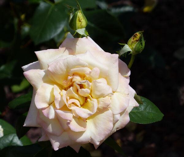 Rosa 'Reinhard Pusch'