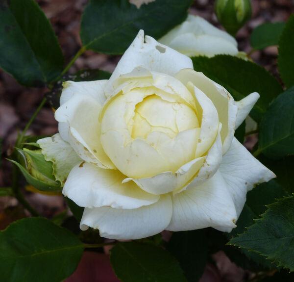 Rosa 'Kaikyo'