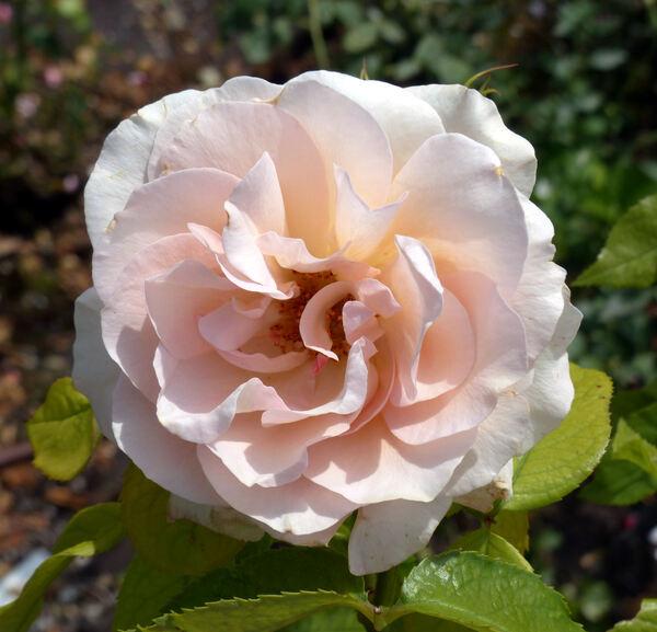 Rosa 'Roseto Carla Fineschi ®'