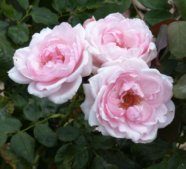 Rosa 'Petit Trianon ®'