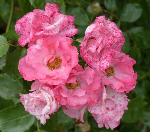 Rosa 'Unicef-Rose ®'