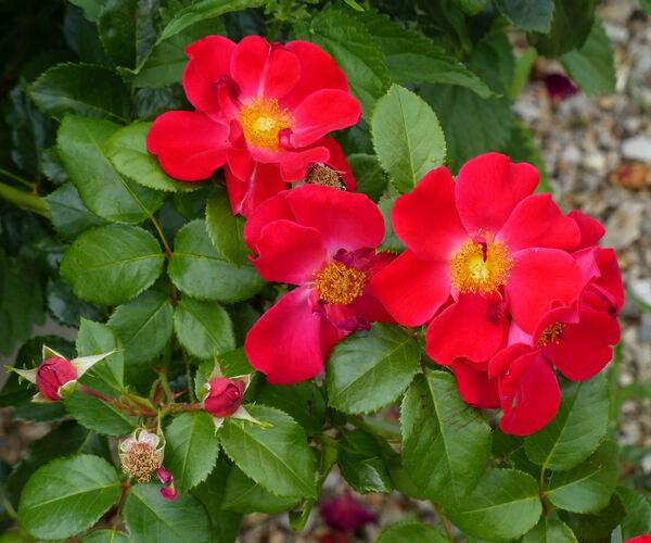 Rosa 'Golden Eye'