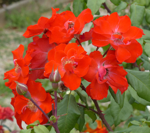 Rosa 'Orange Fire'