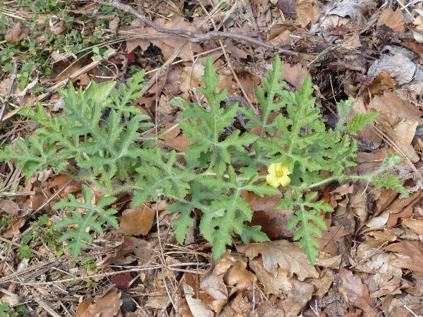 Citrullus lanatus (Thunb.) Matsum. & Nakai 'Asahi Miyako F1'