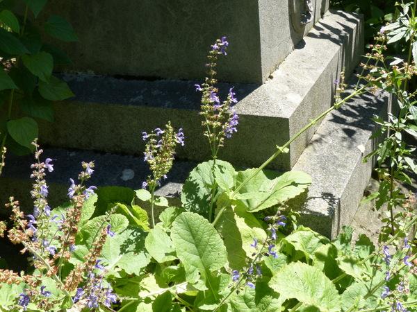 Salvia forskaohlei L.