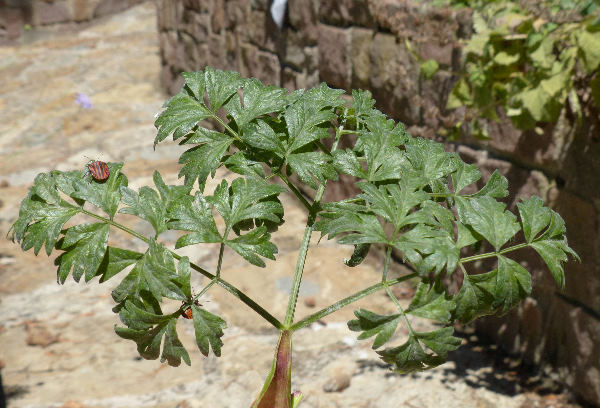 Xanthoselinum venetum (Spreng.) Soldano & Banfi