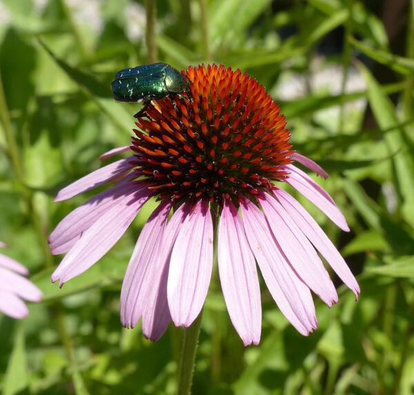 Echinacea purpurea (L.) Moench