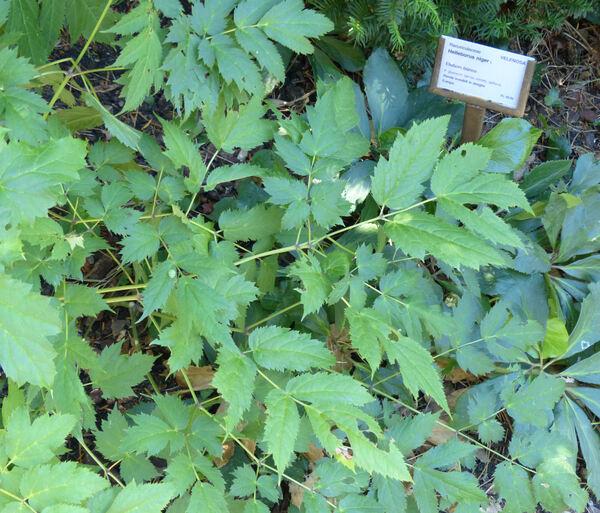 Actaea racemosa L.