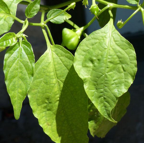 Capsicum baccatum L.
