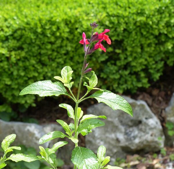 Salvia microphylla x greggii hort.