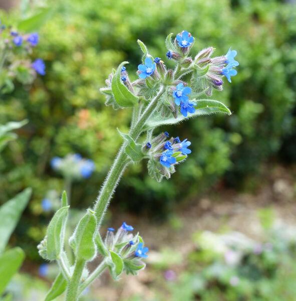 Anchusa officinalis L.