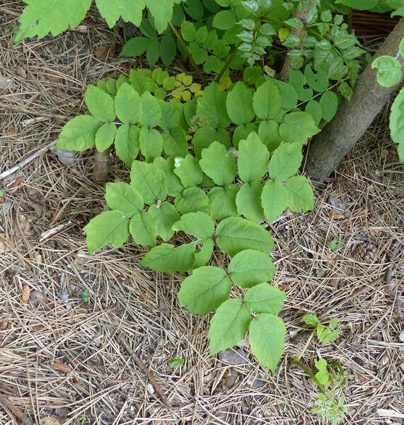 Aralia elata (Miq.) Seem. var. mandshurica (Rupr. & Maxim.) J. Wen