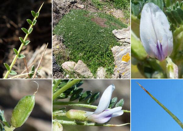 Astragalus terraccianoi Vals.