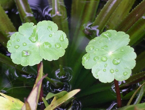 Hydrocotyle ranunculoides L.f.