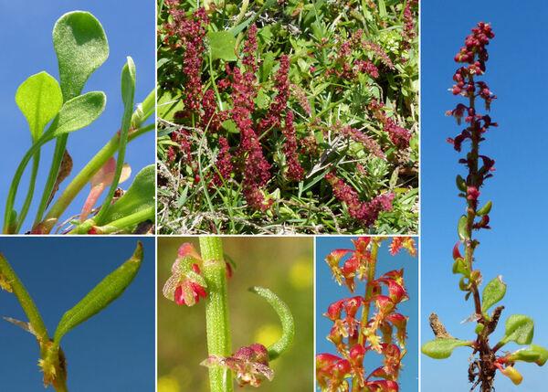 Rumex bucephalophorus L. subsp. bucephalophorus
