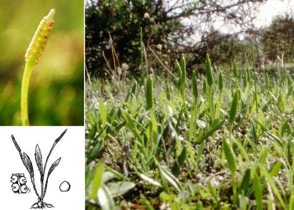 Ophioglossum lusitanicum L.