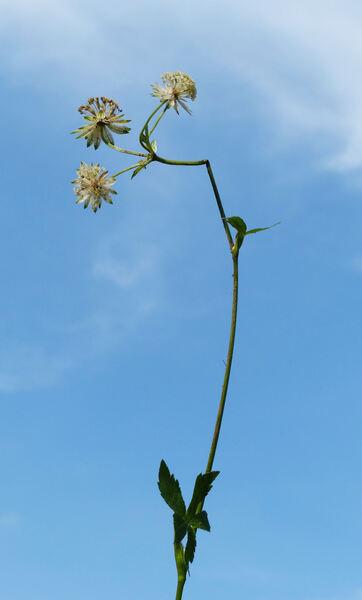 Astrantia major L. subsp. major